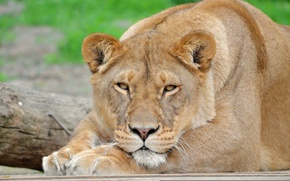 Picture mustache, look, face, stay, Leo, paws, lioness, panthera leo