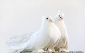 Picture white, cute, cute, pigeon pair, pigeon pair, white