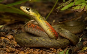Picture forest, nature, snake, Rhabdophis subminiatus, Red necked keelback