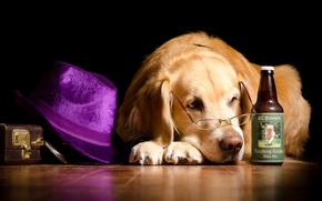Picture bottle, humor, hat, glasses, lies, suitcase, on the floor, Retriever