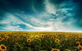 Wallpaper Sunflowers, the sky, field, clouds