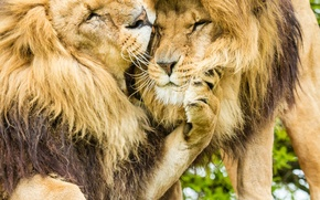 Picture cats, Leo, mane, lions, brothers
