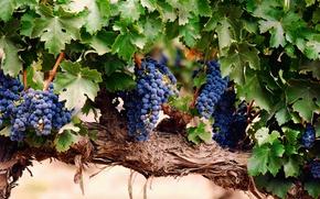 Wallpaper leaves, berries, grapes, bunch, brush, vine