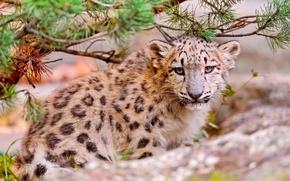 Picture face, predator, IRBIS, snow leopard, snow leopard, kitty, looks, uncia uncia