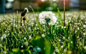 Wallpaper light, Rosa, dandelion, glare, grass, glade