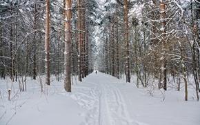 Picture winter, forest, snow, nature, pine, Landscape