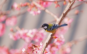 Wallpaper bird, spring, Sakura, tit