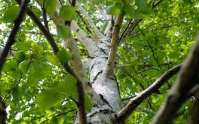 Picture nature, tree, birch