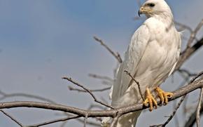Picture bird, predator, branch