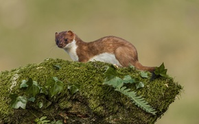Picture greens, background, Ermine