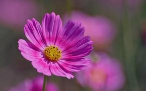 Picture macro, pink, petals, blur, Kosmeya