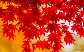 Picture autumn, leaves, branch, the crimson