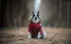 Picture look, each, dog, boston terrier