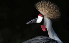 Picture background, bird, Crowned crane