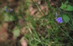 Picture flower, purple, grass, grass, flower, purple, nettles, nettle