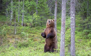 Wallpaper summer, nature, bear