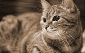 Picture cat, Sepia, Kote