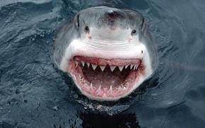 Wallpaper Australia, Large, White Shark