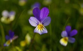 Picture flower, petals, violet, Pansy