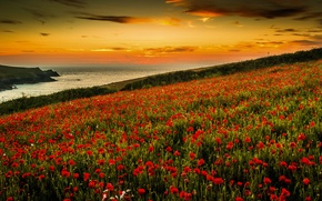 Picture sea, flowers, Maki, the evening, slope, meadow
