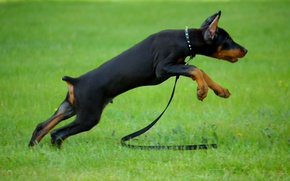Picture grass, baby, cable, puppy, collar, Doberman, playful, small
