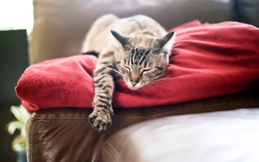 Picture cat, cat, red, paw, sleeping, plaid