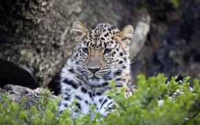 Picture face, leopard, big cat