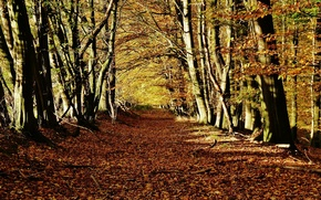 Picture autumn, forest, leaves, rays, trees, nature, colorful, forest, Nature, falling leaves, grove, trees, autumn, leaves