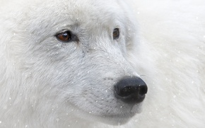 Picture look, snow, animal, brown eyes, white wolf