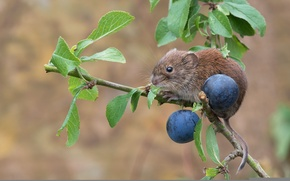 Wallpaper mouse, branch, Bank vole, rodent, plum, turn