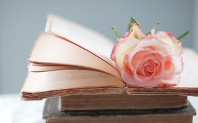 Picture flower, pink, rose, books, page