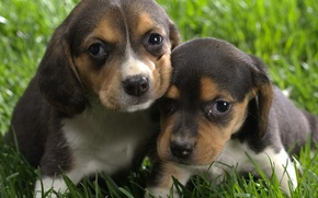 Picture Puppies, Grass, Brown