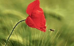 Picture flower, grass, drops, red, Rosa, Mac, insect