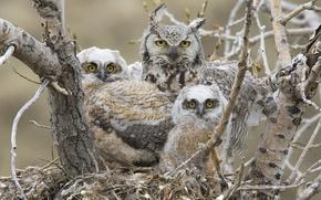Picture Chicks, birds, great horned owl, Great horned owl, socket
