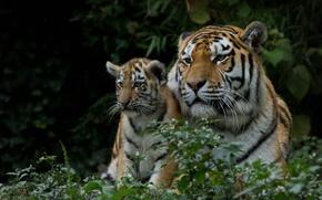 Picture tigers, tigress, tiger