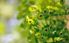 Picture plant, green, flowers, Euphorbia, Euphorbia