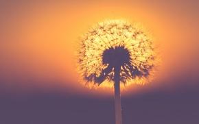 Picture nature, sony, sunset, evening, sun, sundown, bokeh, plant, creme, dandelion, backlit, seed, dof, seeds, backlight, …