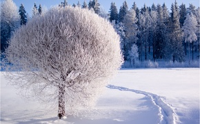 Picture winter, frost, forest, snow, nature, tree