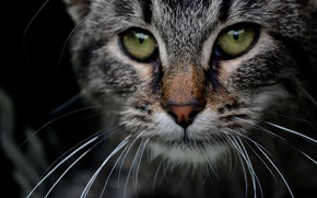 Picture eyes, cat, grey