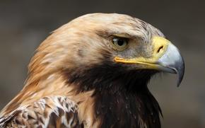Picture look, calm, portrait, Imperial eagle (Aquila heliaca)