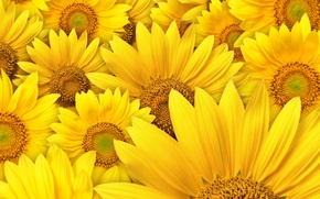 Wallpaper sunflowers, flowers, macro photography