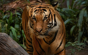 Picture look, tiger, animal