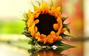 Picture bokeh, reflection, sunflower