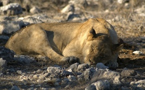 Picture sleep, Leo, the king of beasts, Namibia, Etosha national Park (Etosha National Park), stay at …