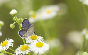 Wallpaper greens, summer, grass, macro, flowers, nature, butterfly, chamomile, white