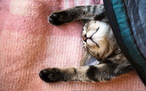 Picture cat, cat, sleep, paws, blanket, sleeping