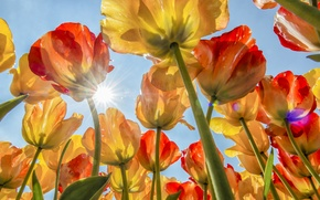 Picture the sky, the sun, tulips, buds