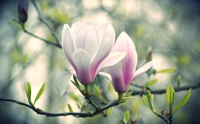 Wallpaper flowers, branch, Magnolia, pink and white