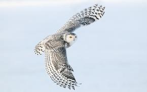 Picture flight, wings, Snowy owl