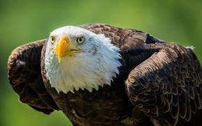 Picture look, predator, beak, bald eagle, bald eagle